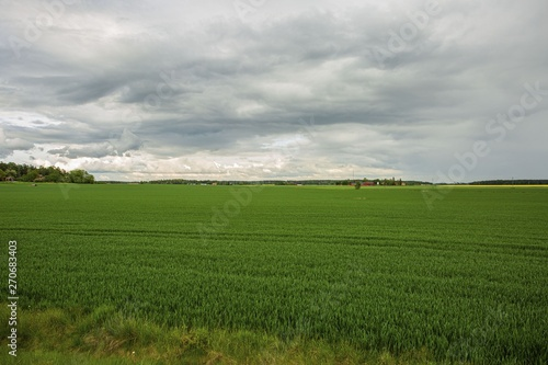 Foto auf Acrylglas Schwan Gorgeous view of green field with rye. Beautiful green backgrounds. Sweden, Europe.