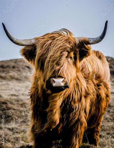 Fototapety, obrazy: highland cow