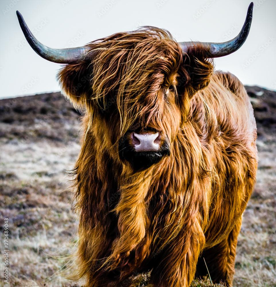 Fototapeta portrait of a cow