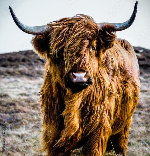 Fototapeta portrait of a cow obraz