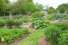 Vegetable Garden With Peony Flowers, Potatoes, Artichoke, Rhubarb, Fruit Shrubs And Trees, And Small Wooden Shed In The Background, English Rural Countryside .