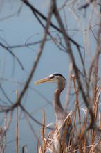 Great Blue Heron In Reeds