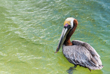 One Young Juvenile Eastern Brown Pelican Bird Portrait Closeup Isolated Swimming In Florida Panhandle Bay At Destin Harborwalk Village With Red Eye