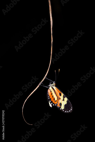 The Eueides isabella (here known as borboleta-asa-de-tigre) in its nocturnal sleep on the palm leaf. Minas Gerais, Brazil. Wall mural
