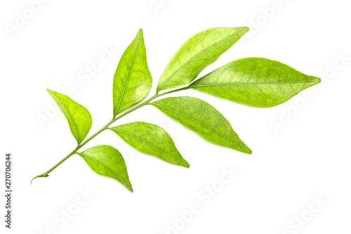 Fototapeta Green leaves isolated on white obraz na płótnie