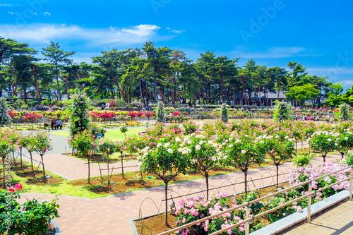 敷島公園ばら園5