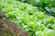 Leinwanddruck Bild - Organic Vegetables in organic  farm, Vegetable farm in day time.