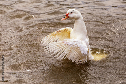 Domestic waterfowl-duck on the water area in summer. Fototapet