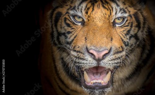 Foto auf AluDibond Tiger Tiger face fierce on a black background