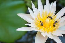Bee On The White Lotus