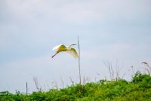 Egret In Danube Delta