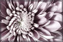 Dahlia Flower On White Background