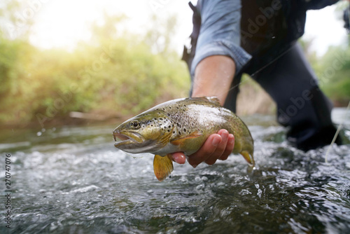 Fototapeta catching a brown trout in the river obraz