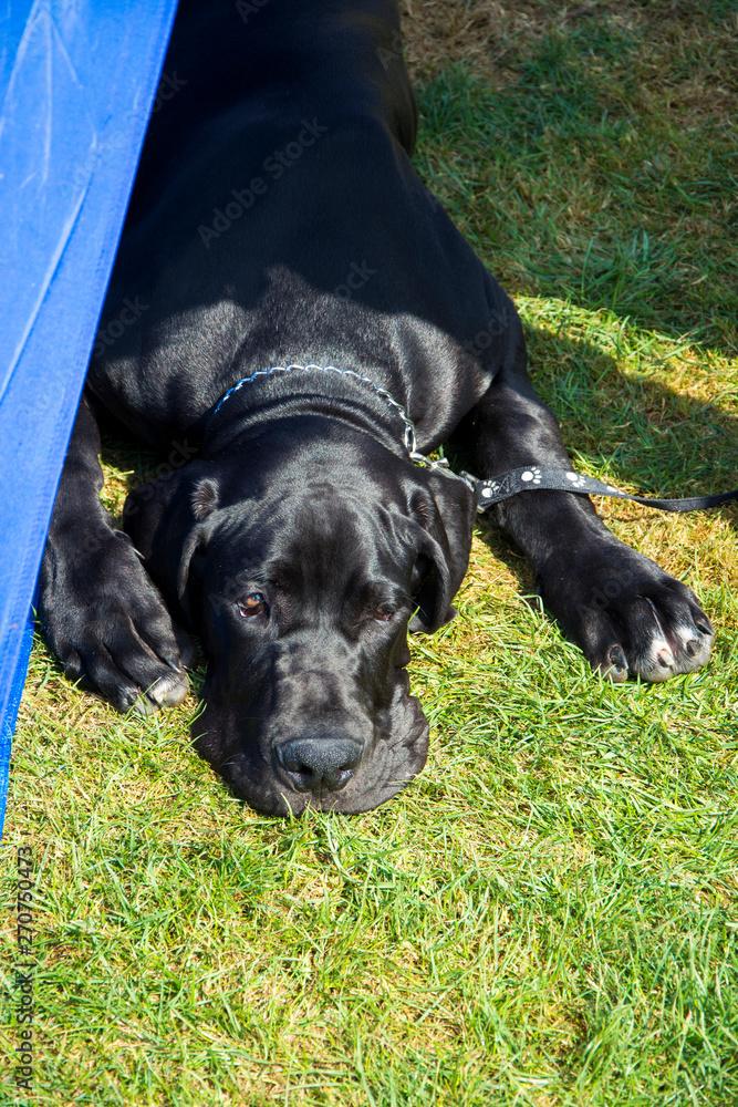 Fototapeta Leżący wielki czarny pies