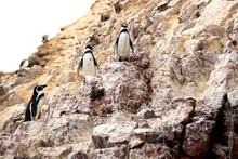 Humboldt Penguins (Spheniscus ...