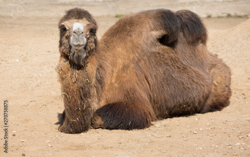Bactrian camel. Camel is a large mammal of the family of camel order of cloven-hoofed suborder calluses with a desert habitat.