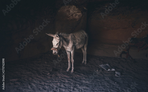 Poster de jardin Ane Tamed donkey highland desert rocky farming animal portrait on a leash near sand stone rock place. A donkeys inside caves dug into a rock formation in Petra. Space for text