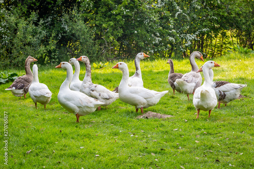 A gaggle of geese standing in a green field Fototapet