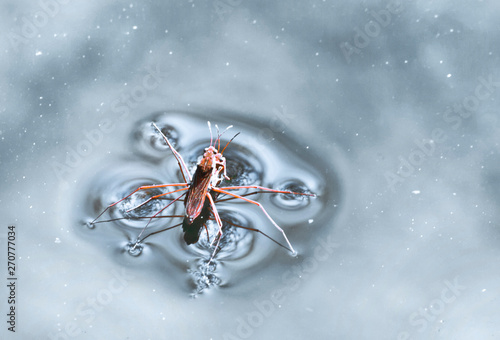 Canvas Print 2  Water Skaters (Pond-skater) freshwater insect
