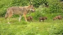 Männlicher Europäischer Wolf (Canis Lupus) Mit Seinen Fünf Wochen Alten Welpen