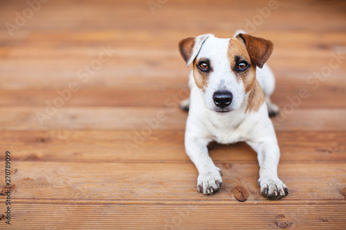 Fototapeta  Dog at on wooden floor