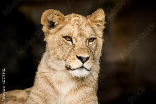 Photo  Barbary lion cub close-up lion king simba