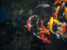 Colorful Fancy Carp Fish, Koi Fish, Fish Japanese Swimming (Cyprinus Carpio) Beautiful Color Variations Natural Organic
