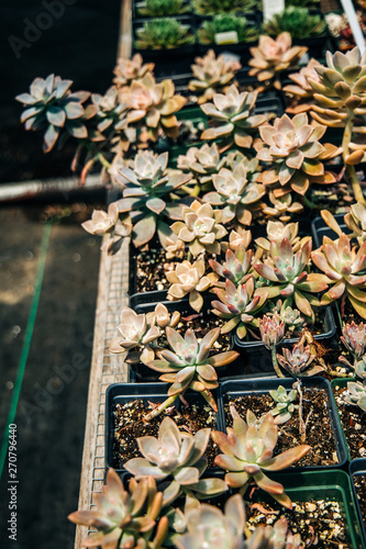 Echeveria Perle von Nurnberg Succulents Growing and for sale at a Nursery
