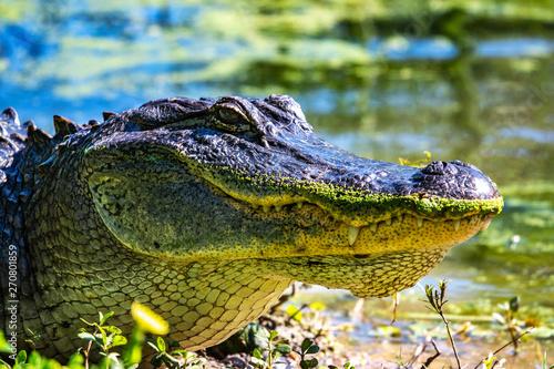 Alligator on the bank sunning itself! Canvas Print