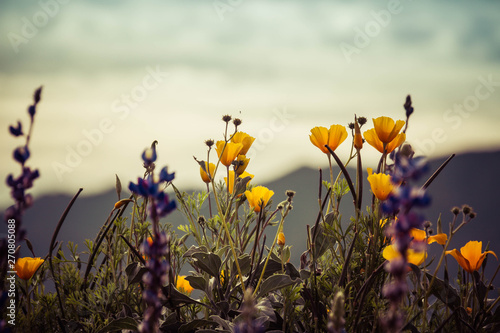 A group of California Poppies and Texas Lupins with an out of focus mountains background. - 270805088