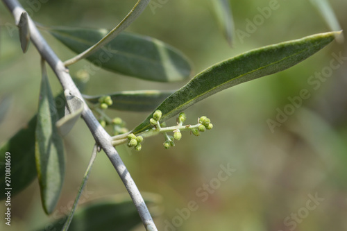 Photo sur Toile Oliviers Common olive flower buds