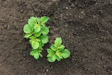 Young Potato Bushes In The Ground.