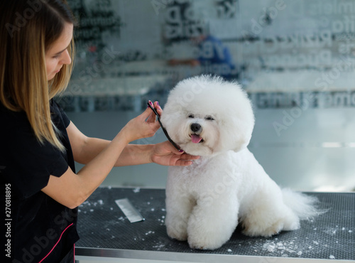 Fototapeta Bichon Fries at a dog grooming salon