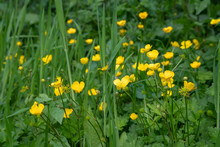 Buttercups Yellow In The Green...