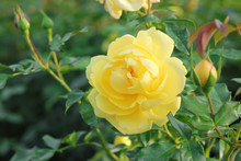 Beautiful Yellow Rose In The G...