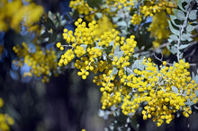 Yellow Flowers And Grey Leaves...