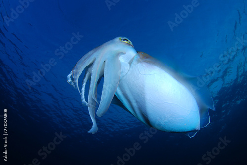 Fotografía  Incredible Underwater World - Cuttlefish