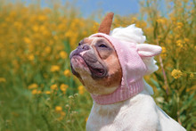 Funny Red Pied Colored French Bulldog Dog Dressed Up With Funny Pink Unicorn Wool Hat In Front Of Spring Flower Background