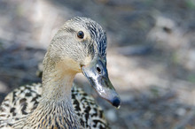 Closeup Of Female Duck Looking...