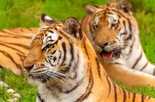 Fototapety, obrazy: Portrait of an amur tiger in a zoo