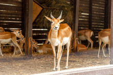 Portrait Of A Blackbuck Antilope In A Zoo While Yawning