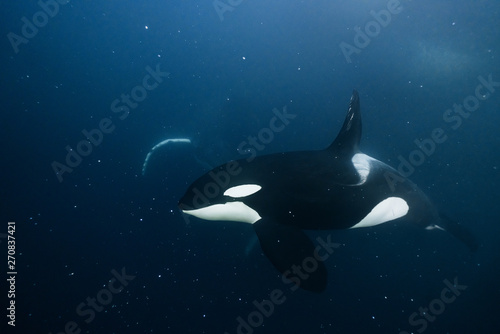 Spoed Foto op Canvas Dolfijn Orca underwater in the Northern Norway with a humpback whale on the background