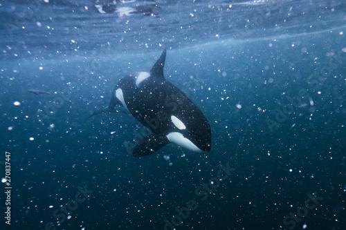 Spoed Foto op Canvas Dolfijn Orca underwater in the Northern Norway