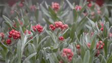 Helichrysum Sanguineum, Red Ev...
