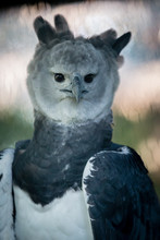 Harpy Eagles Are Among The Wor...
