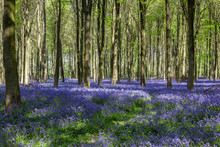 Bluebells In Wepham Wood