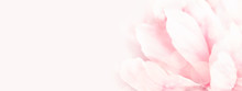 Closeup View Of Pink Peony Flower. Soft Pastel Wedding Background. Banner For Website.
