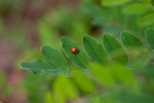 Coccinella Rossa Su Foglie Ver...