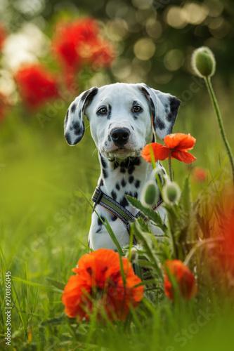 Obraz Dalmatian puppy in a poppy flower meadow - fototapety do salonu