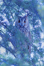 Forest And Owl.  Pine Tree. Bird: Long Eared Owl. Asio Otus. Nature Background.